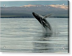 Whale Jumping Acrylic Print