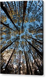 Whispering Pines Acrylic Print by Dan Wells