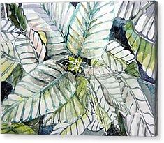 White Poinsettia Acrylic Print by Mindy Newman