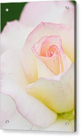 White Rose With Pink Edge Acrylic Print by Atiketta Sangasaeng