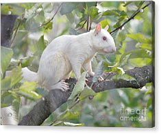 White Squirrel Acrylic Print by Robert E Alter Reflections of Infinity