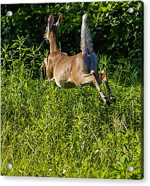 White-tailed Deer Acrylic Print by Brian Stevens