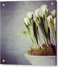 White Tulips In Bowl - Gray Concrete Wall Acrylic Print by Matthias Hauser