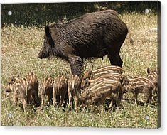 Wild Boar Acrylic Print by Steve Mangan