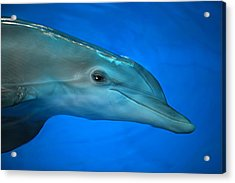 Acrylic Print featuring the photograph Winter The Dolphin by Doug McPherson
