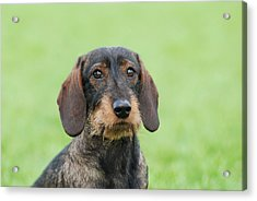 Wire-haired Dachshund Dog  Acrylic Print by Waldek Dabrowski