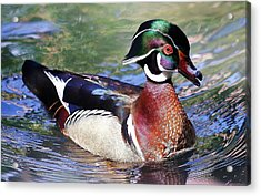 Wood Duck Acrylic Print by Paulette Thomas