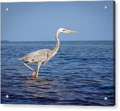 Wurdemann's Heron Acrylic Print