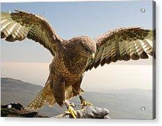 Wyre Hawk Acrylic Print
