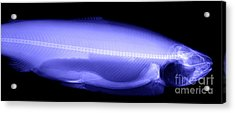 X-ray Of A Trout Acrylic Print by Ted Kinsman