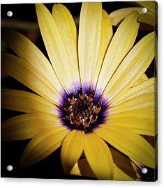 Yellow Daisy Acrylic Print by David Patterson