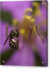 Yellow Faced Bee Acrylic Print by Zoe Ferrie