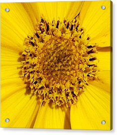 Yellow Flower Detail Acrylic Print