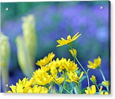 Yellow Flowers Acrylic Print by Becky Lodes