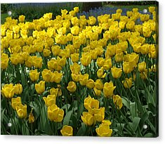 Yellow Tulips 2 Acrylic Print by Larry Krussel