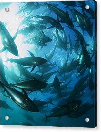 Yellowfin Tuna Acrylic Print by Louise Murray