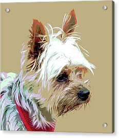 Yorkshire Terrier Acrylic Print by Dorrie Pelzer