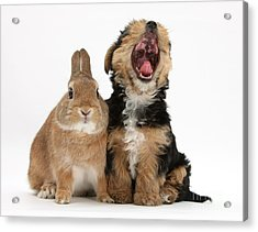 Yorkshire Terrier Pup With Rabbit Acrylic Print by Mark Taylor