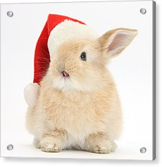 Young Sandy Rabbit Wearing A Christmas Acrylic Print