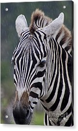 Zebra Acrylic Print by Thomas Marchessault