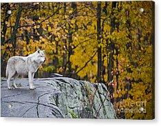 Arctic Wolf Acrylic Print by Michael Cummings