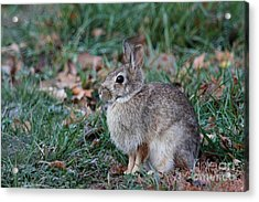 Eastern Cottontail Rabbit Acrylic Print