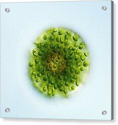 Green Alga, Light Micrograph Acrylic Print by Gerd Guenther