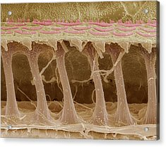Inner Ear Hair Cells, Sem Acrylic Print by Steve Gschmeissner