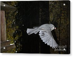 Tufted Titmouse In Flight Acrylic Print by Ted Kinsman