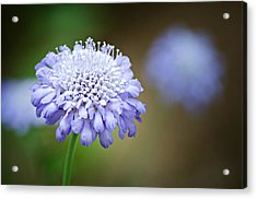 1205-8794 Butterfly Blue Pincushion Flower Acrylic Print