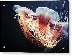 Lion's Mane Jellyfish Acrylic Print