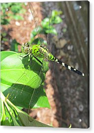 Dragonfly Acrylic Print by Michele Caporaso