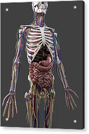 Human Anatomy, Artwork Acrylic Print by Sciepro