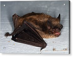 Little Brown Bat Acrylic Print by Ted Kinsman