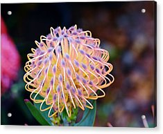 Common Pincushion Protea Acrylic Print by Werner Lehmann