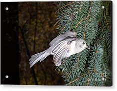 Tufted Titmouse In Flight Acrylic Print