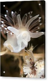 Nudibranch Acrylic Print by Alexander Semenov