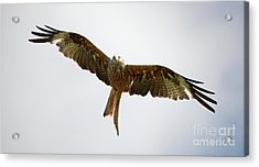 Red Kite In Flight Acrylic Print