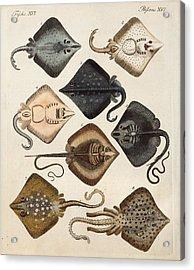 1795 Decorative Marine Rays Illustration Acrylic Print by Paul D Stewart