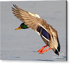 Male Mallard Duck In Flight Acrylic Print
