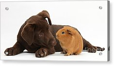 Puppy And Guinea Pig Acrylic Print by Mark Taylor