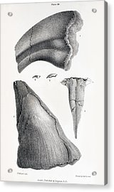 1833 Iguanodon Mistaken Spike Horn Fossil Acrylic Print by Paul D Stewart