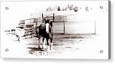 1900  Clydesdale Horse Acrylic Print by Marcin and Dawid Witukiewicz