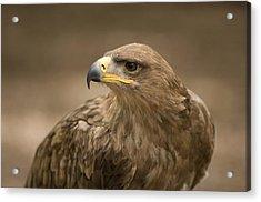 A Tawny Eagle At A Wild Bird Sanctuary Acrylic Print by Joel Sartore