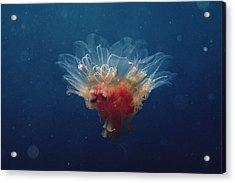 Arctic Jellyfish Off Baffin Island Acrylic Print