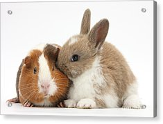 Baby Rabbit And Guinea Pig Acrylic Print