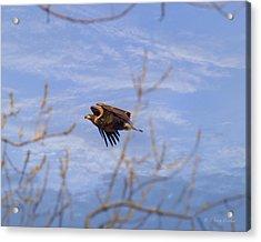 Bald Eagle - Immature Acrylic Print by J Larry Walker