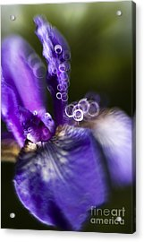 Blue Iris Acrylic Print by Angel  Tarantella