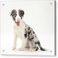 Blue Merle Border Collie Pup Acrylic Print