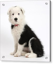 Border Collie Pup Acrylic Print by Mark Taylor
